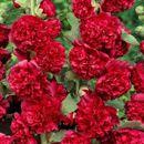 Клематисы и Шток-роза. Неоспоримая красота твоего участка