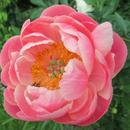 Пионы - королевские цветы - сезон весна 2021 года