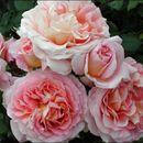 Розы, которые будут радовать вас в этом году-5!