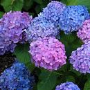 Хвойные, гортензии и декоративные растения для сада из немецкого питомника.