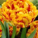 Луковки тюльпанов ищут своих хозяев 3