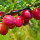 Ваш плодовый сад - саженцы. Сезон 2020 (вишня, слива, кизил и др.)
