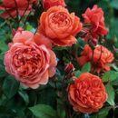 Розы, которые будут радовать вас в этом году-3!