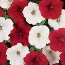 Цветы от Седек - семена многолетников и однолетников.