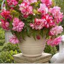 Астры, георгины и бегонии - королевские цветы на вашем участке 6