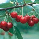 Ваш плодовый сад - саженцы-2 (вишня, слива, рябина, кизил, алыча, калина и др.)