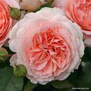 Немецкие розы Kordes - лучшие саженцы с мировой репутацией. Весна 2021.