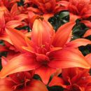 Чудесные лилии в нашем саду 8. Много новых сортов красоты