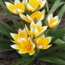 Шикарные тюльпаны - яркая весна 9. Закрываем ряды!