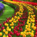 От 19 рублей! Хотите эффектную тюльпановую клумбу весной? Лучшие сорта здесь!