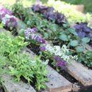 Аптека на грядке - семена неприхотливых и очень полезных растений