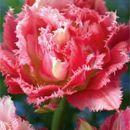 Луковки лилий и тюльпанов ищут своих хозяев