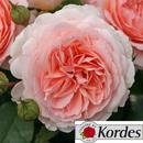 Немецкие розы Kordes - лучшие саженцы с мировой репутацией.