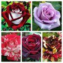 Розы, которые будут радовать вас в этом году-10!