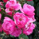 Розы с питомника Тамбова-3