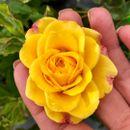 Розы, которые будут радовать вас в этом году-4!
