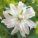 Принцесса цветов - саженцы прекрасных лилий, а так же хосты