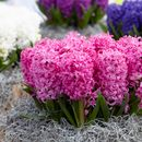 Крокусы,гиацинты,тюльпаны-украшение вашего сада.Заказывай и получай.