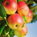 Яблочный урожай не мечта, а реальность-2! Саженцы для вас Сезон-2020