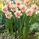 Тюльпанчики и нарциссы-украшение вашего сада. Приход завтра.