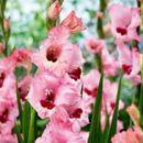 Гладиолусы,лилии,георгины,пионы-роскошь на даче-8