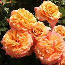 Розы, которые будут радовать вас в этом году!